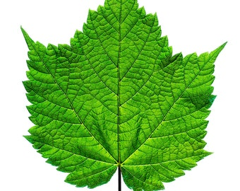Green Striped Maple leaf