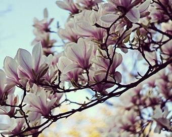 Magnolia Flowers - Fine Art Photography - 8x8 print, square print, magnolia tree, magnolia art, magnolia print, nursery wall art - liliflora