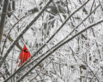 Cardinal, winter cardinal, cardinal photography, winter photograpghy, snow, winter scene, wall art, red cardinal