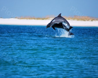 Dolphin Photo // Two Dolphins Jumping in Pensacola Bay // Florida Photograph Print