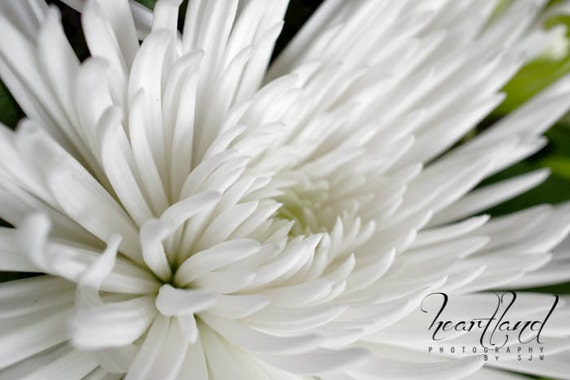 Large Neutral Print, White Flower, Macro Photography, Nature Print, Neutral Colors, Spider Mum Photo, Bedroom Wall Art, Nursery Decor