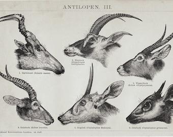 1893 Antelope antique print. Antelope species