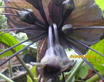 Tacca chantrieri BLACK BAT PLANT 10 seeds