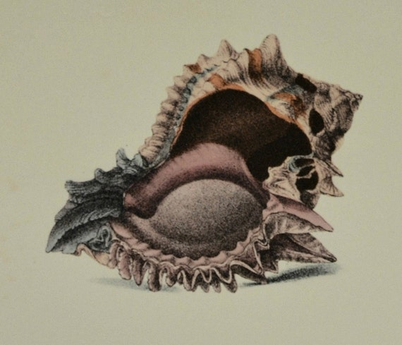 Exotic conchology print. The regal murex. Hexaplex regius. 1968. Vintage book plate. Shell print. 11'3 x 9'2 inches.