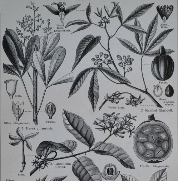 Rubber producers plants print. Old book plate, 1904. Antique  illustration. 110 years lithograph. 9'6 x 6'2 inches.