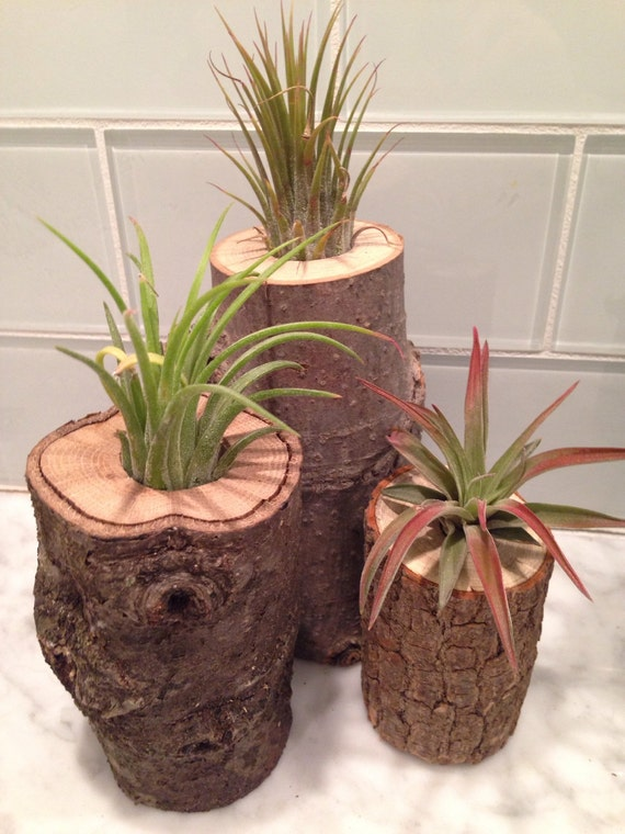 souche de bois rustique journal plante a rienne tillandsia. Black Bedroom Furniture Sets. Home Design Ideas