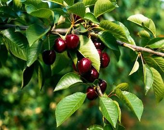 Black Cherry Perfume Oil Roll On 1/3 oz Perfume Alcohol-Free Vegan 100% Pure Perfume Oil Cherry Perfume Oil Roll On Fruit Fragrance Perfume
