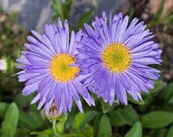 Aster Alpinus Goliath Blue Flower Seeds / Perennial  25+