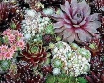 Sempervivum Hardy Species Mix Flower Seeds / Perennial  50+
