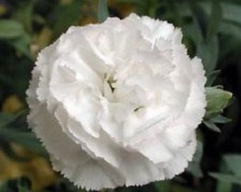 White Grenadin Carnation Flower Seeds / Dianthus/ Biennial 30+