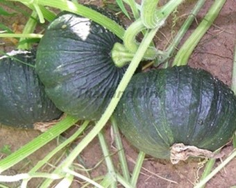 Thai  Pumpkin 25 Seeds ThailandMrk
