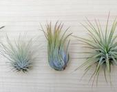 5 Tillandsia air plant Sampler Pack #1 - indoor outdoor houseplant