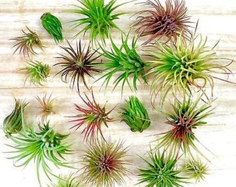 5 Pack assorted Tillandsia Ionantha air plants - Easy Care collection variety