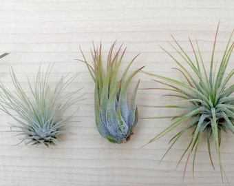 P1 - 5 Tillandsia air plant Sampler Pack #1