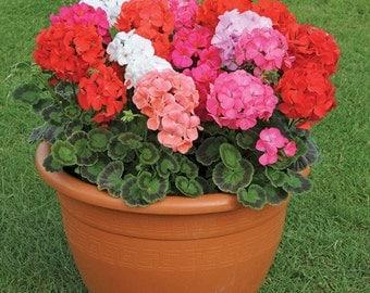 Geranium Mix Flower Seeds (Pelargonium Zonale Mix) 10+Seeds