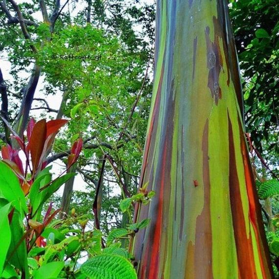 Planting Under Eucalyptus Trees : Rainbow eucalyptus gum tree seeds deglupta