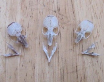 Deer Mouse skull and jaw real animal bones.