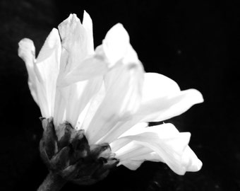 Still Life Photography**Nature Print**Black & White Photography**Flower Print**Beauty**Petals