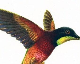 Hummingbird Crimson Topaz Original Antique Print Illustration 50s  Natural History Ornithological Print Bird wall art