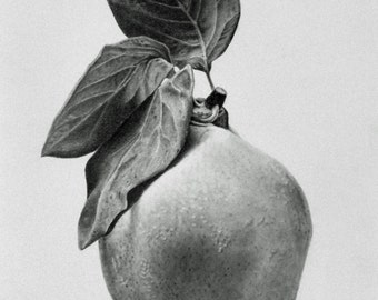 Proud Quince fruit graphite drawing on paper
