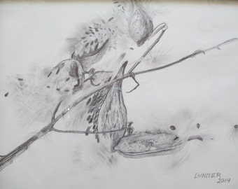 Pencil drawing of milkweed plant