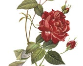 Wild Roses Fragrance Oil 1/3oz  with a Wee Magical touch of Pheromone Oil