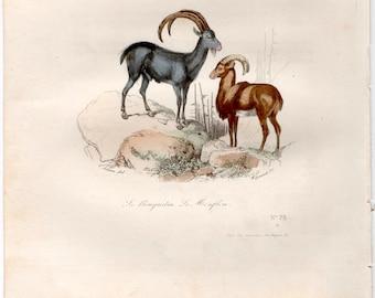 1860 sheep goat print original antique hand colored animal engraving - buffon cuvier natural history