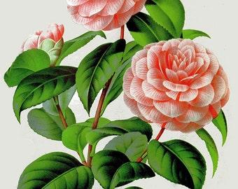 antique french botanical print pink camellia flowers illustration digital download