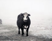 Black  and White Cow in The Fog