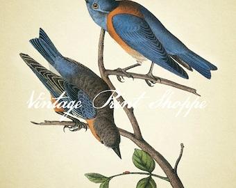 Bluebird print Scientific Illustration John James Audubon reproduction print 5x7 print Bluebird print Home Decor Naturalist Vintage print