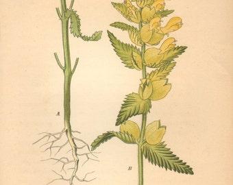 1884 Yellow Rattle, Alectorolophus hirsutus Antique Lithograph