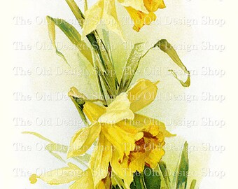 Catherine Klein Yellow Daffodil Vintage Flower Clip Art Printable Digital Download JPG Image