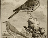 1771 Antique print of SONGBIRDS: Mistle Thrush and Fieldfare. Birds. Ornighology. 246 years old gorgeous Buffon copper engraving