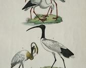1854 Antique print of BIRDS: White Stork, Ibis, Spoonbill. Wading birds. Ornithology. 163 years old rare engraving.