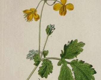 1828 Antique botany print of a GREATER CELANDINE PLANT. Chelidonium majus. Tetterwort. Leaves and Flowers. 188 years old botanical engraving