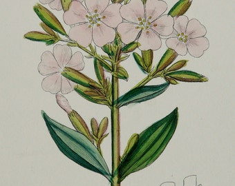 1873 Antique botanical print of a COMMON SOAPWORT medicinal herb. Bouncing-bet, Crow soap, Wild sweet William. 143 years old botanical print