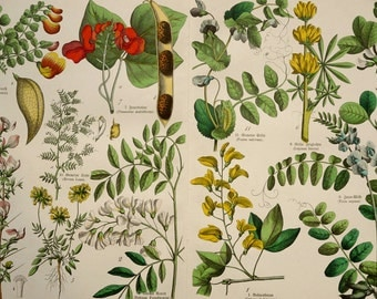 1880 Antique print of FLOWERS and PLANTS: Runner bean, Bladder senna, Pea, Black locust, Kidneyvetch ... 137 years old gorgeous lithograph