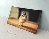Chicks in Hats Chicken in A Top Hat Magnet Baby Animal Photograph
