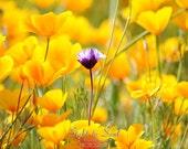 California Poppy Flower Photography, gifts under 25, nature wall art, wildflower print, floral wall decor, fine art print