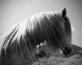 Black and white horse photo, equine art, horse wall art, equestrian decor, highland pony, animal photography, various sizes