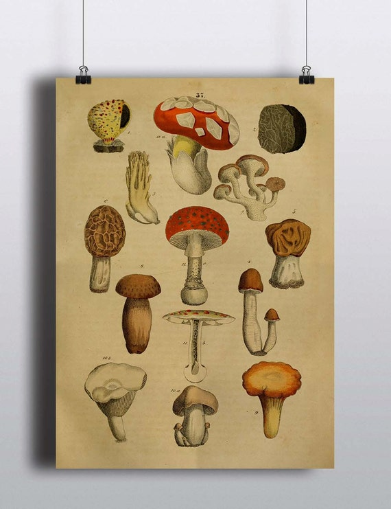Antique 1800s Mushroom Botanical Print Poster Art by TheBlackVinyl