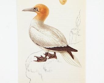 Gannet Picture, Solan Goose, Seaside Decoration,  Coast Bird Picture, Beach House decor