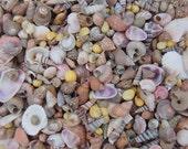 EXTRA SMALL Indian Ocean Shell Mix - Beach Wedding Decor - Crafts - Bulk Shells - Shell Supply