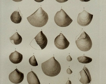 """1903.Antique print.Paleontology.FOSSILS.Geology,LAMELLIBRANCHS.Shells.111 years old print.Natural History print.11.3x8.6""""or 29x22 cm."""