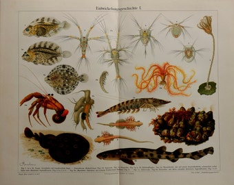 Antique print.1904 Lithograph in color.Invertebrates,Evolution.109 years old print.Sea print..Old print.11,9,2x9,5 inches.Vintage poster.