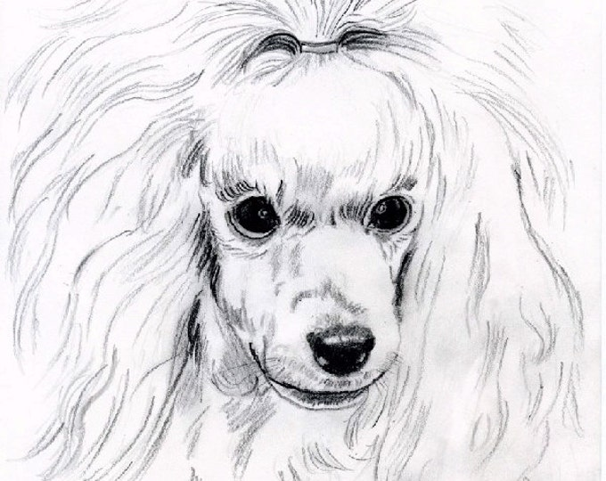 PRINT- DRAWING POODLE;art,  pencil drawing, miniature poodle, white, dog,