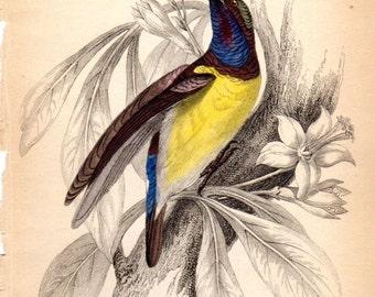 1843 Antique Bird Print Ceylon Yellow Bellied Sunbird Sun birds Jardine
