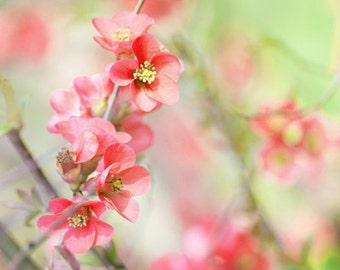 Coral blossoms - Photo Print, flower photography, spring, botanical, peach