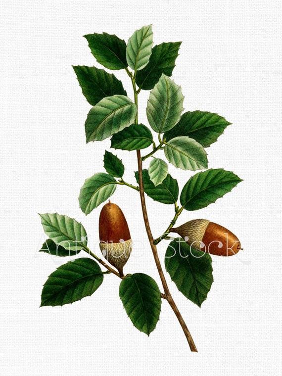 Cork Oak Leaves and Acorns Botanical Drawing Digital Image