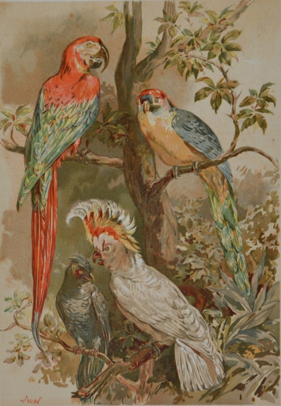 Parrots print. Birds. Natural history engraving. Color print. Antique illustration 124 years old. 1890 lithograph. 9 x 12'3 inches.